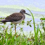 """Greater Yellowlegs"" by WildAboutNaturePhotography"