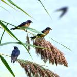 """Barn Swallows"" by WildAboutNaturePhotography"