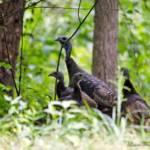 """""""Wild Turkeys"""" by WildAboutNaturePhotography"""