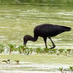 """Glossy Ibis"" by WildAboutNaturePhotography"