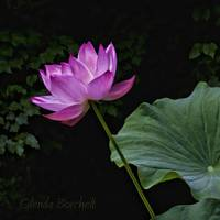 Waterlily from the LilyFest