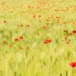 """Poppies field"" by FrancescoMalpensi"