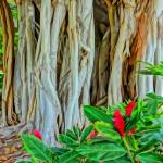 """Wailea Banyan"" by MauiViews"