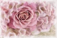 Rose in pink swirls
