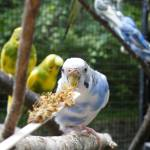 """""""Blue Budgie"""" by Kimmary"""