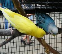 Budgie Couple