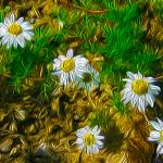 """""""Daisies"""" by lifescaping"""