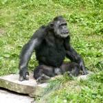 """""""Chimp in Thought"""" by Kimmary"""