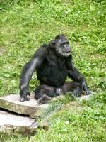 Chimp in Thought