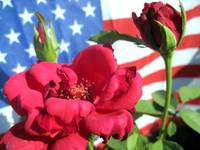 Patriotic Red Rose