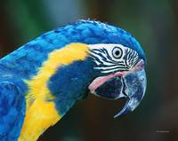Blue throated Macaw 2