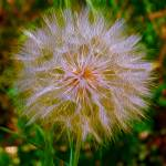 """""""Dandelion"""" by lifescaping"""