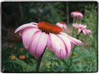 Coneflowers in a Row