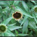 """Buddding Echinacea"" by GiorgettaMcRee"
