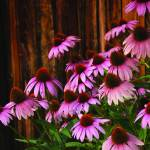 """Cone Flowers"" by chrisromano"
