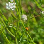 """Ladybug Olympics"" by twostarphotography"