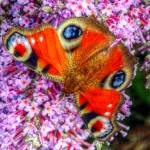 """The Peacock Butterfly 5"" by SteveWalton"