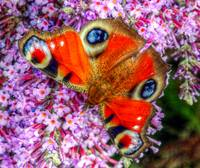 The Peacock Butterfly 5