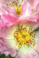 Floral Fine Art Photograph Wild Roses