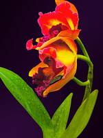Frilly Red and Yellow Orchids