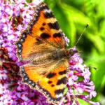 """The Small Tortoiseshell Butterfly"" by SteveWalton"