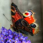 """The Peacock Butterfly 4"" by SteveWalton"