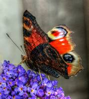 The Peacock Butterfly 4