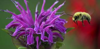 Bee and the Beebalm