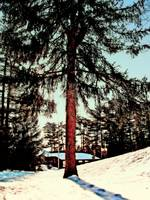 Fir  Tree in Snow scene
