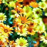 """""""Cellophane Flowers Of Yellow And Green"""" by gpac777"""