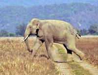 Wild Asian Elephant Crossing