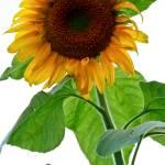 """Mammoth Sunflower in Bloom"" by PhotographsByCarolFAustin"