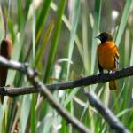 """Baltimore Oriole"" by WildAboutNaturePhotography"