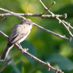 """Flycatcher in the Sun"" by WildAboutNaturePhotography"