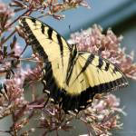 """""""Eastern Tiger Swallowtail"""" by WildAboutNaturePhotography"""