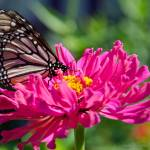 """Monarch Butterfly on Pink Zinnia"" by WildAboutNaturePhotography"
