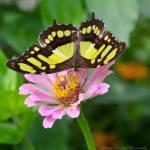 """Malachite Butterfly"" by WildAboutNaturePhotography"