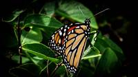 Butterflies Flutter By