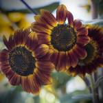 """Sunflower Threesome"" by SederquistPhotography"