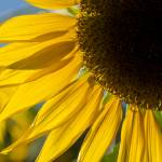 """Sunflower Glow"" by SederquistPhotography"