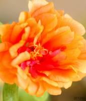 Orange Portulaca Flower