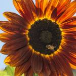 """Red Sunflower and Bee"" by SederquistPhotography"