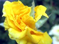 Yellow Wet Rose Bud