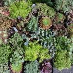 """""""Succulents at the Farmers Market"""" by kyaudeart"""