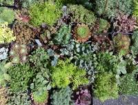 Succulents at the Farmers Market