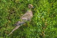 Mourning Dove (Zenaida macroura) (HDR from single