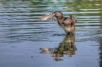 Pied-billed Grebe Standing on Water (HDR from sing