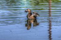 Pied-billed Grebe (HDR from single RAW)