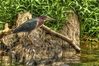 Green Heron (Butorides virescens) HDR from single
