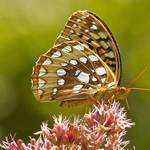"""Great Spangled Fritillary (Speyeria cybele)"" by Pipevinestudio"